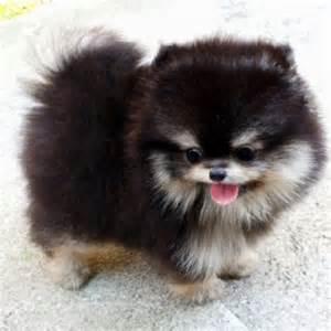 Mini Husky Pomeranian Mix » Ideas Home Design