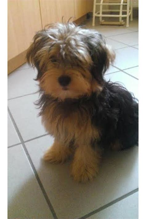 yorkie bichon mix for sale in ohio terrier bichon mix breeds picture