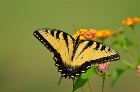 yellow pattern butterfly tiger swallowtail butterfly free stock photo public