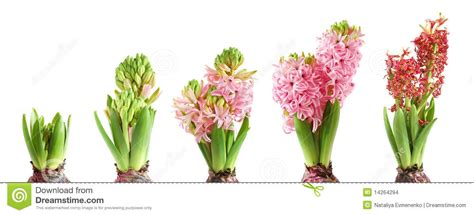 growing hyacinth stock images image
