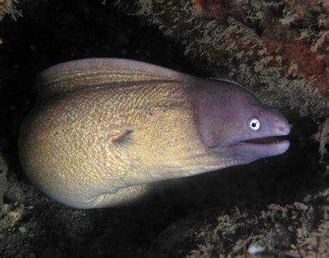 moray eel greyface moray eel wikipedia