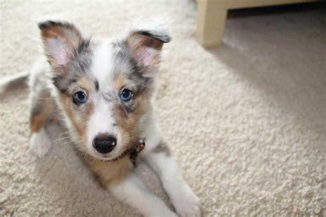 blue eyed puppy blue eyed australian shepherd puppies breeds picture