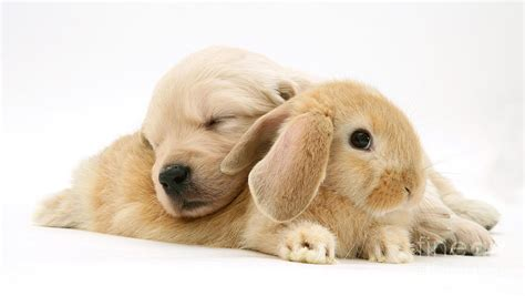 puppies and bunnies rabbit and puppy by burton
