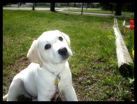 ivory lab puppies for sale in mn white lab puppies and white labrador retrievers puppies snow white polar