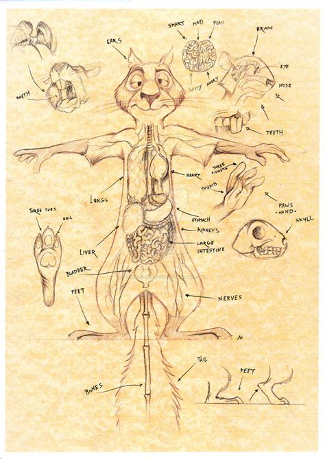 squirrel anatomy diagram the anatomy of surly squirrel by fairytalesartist on