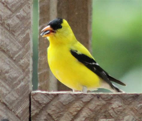 top 28 yellow finch migration american goldfinch facts