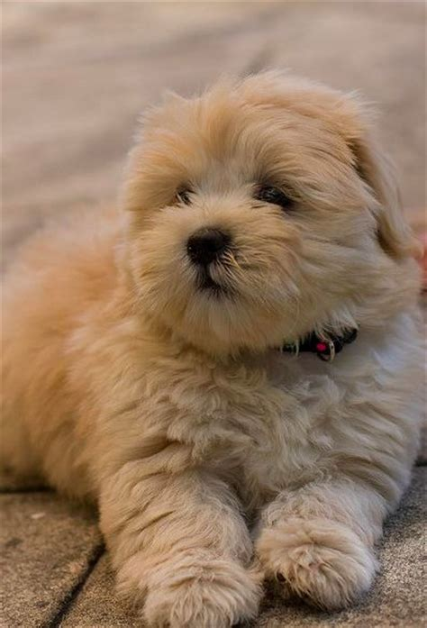 shih tzu bichon haircuts 25 best ideas about teddy dogs on teddy puppies small