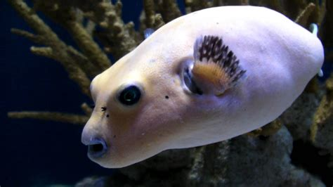 puppy fish faced puffer fish