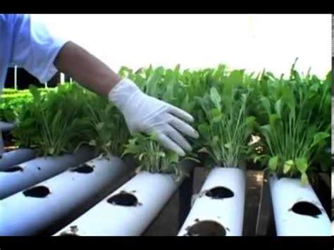 Hidroponik Fertigasi Sederhana pertanian hidroponik rindo simanjuntak