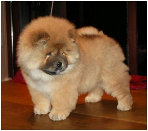 Chow Chow Shedding by Chow Chow Breeders Facts Pictures Puppies Rescue