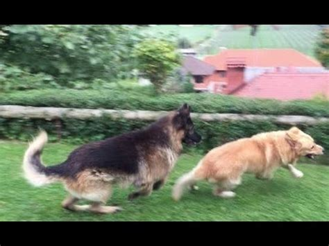 golden retriever vs german shepherd fight german shepherd vs husky fight www pixshark images galleries with a bite