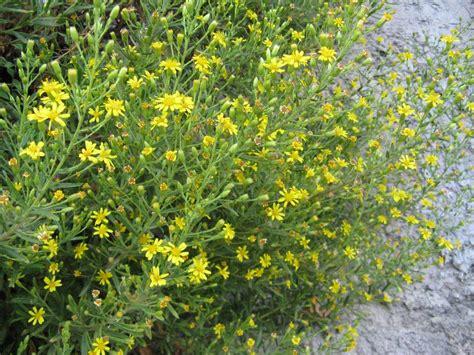 pianta con fiori pianta con fiori gialli