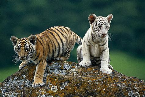 one perched on a rock a biography of dr warren carroll books white tiger bengal tiger cubs perched on rock image