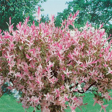 Saule Crevette Hiver by Saule Crevette Salix Integra Hakuro Arbres Et Arbustes D