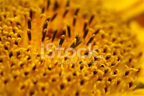 free detailed macro images and stock photos freeimages sun flower macro stock photos freeimages