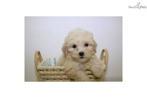 teacup shih poo puppies for sale meet a shih poo shihpoo puppy for sale for 399 teacup