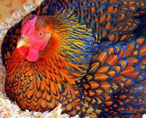 colorful chickens andaluza azul