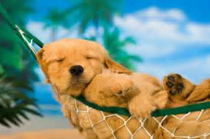 Summer Potty Chair Golden Retriever Puppy In A Hammock Canine College
