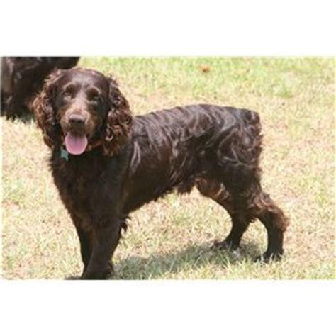 boykin spaniel puppies for sale in ga bss registered boykin spaniel puppies ad 65184