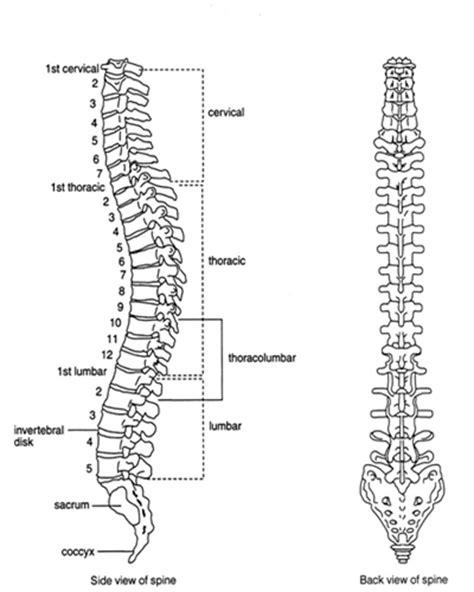 labeled vertebrae diagram labelled diagram of spinal vertebral column side view