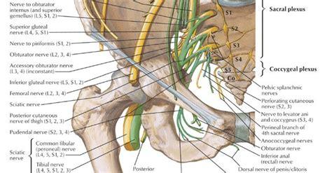 muscolo otturatore interno i nervi e i muscoli plesso lombosacrale