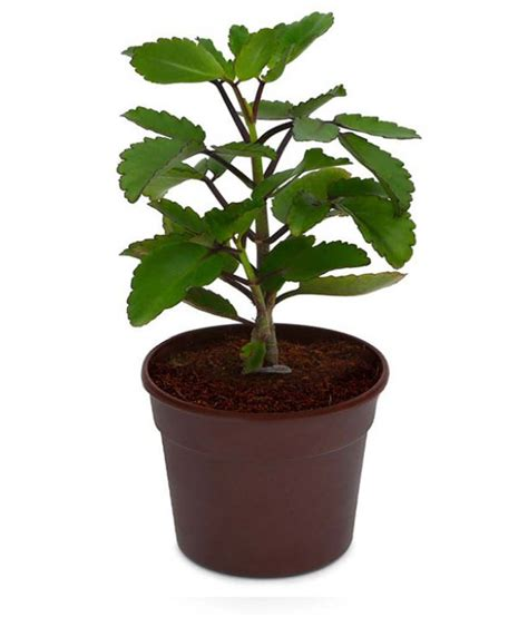 where to buy herb plants exotic green patharchatta herb plant buy exotic green