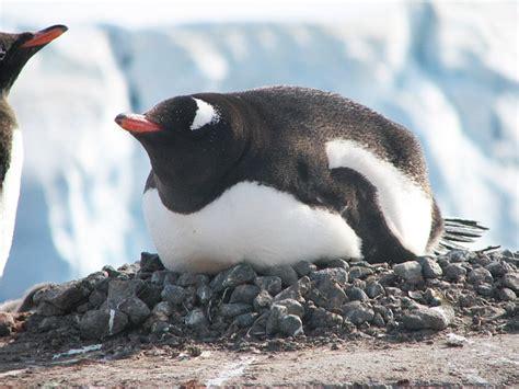 the birds nest penguin b00i1aa18c free photo penguin nest incubating wildlife free image on pixabay 404964
