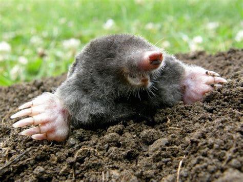 what do moles eat thriftyfun