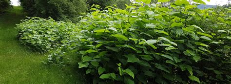 japanse tuin planten kopen best japanse with japanse planten
