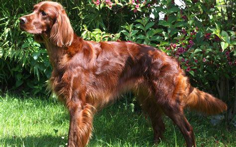 irish setter dog group irish setter breed guide learn about the irish setter