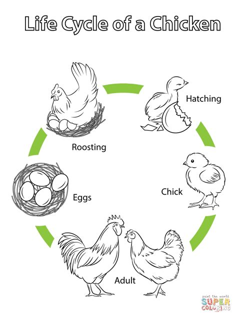 printable animal life cycles life cycle of a chicken super coloring may pinterest