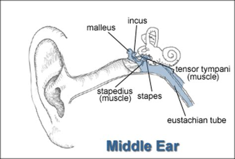 middle ear diagram the common cold skybrary aviation safety
