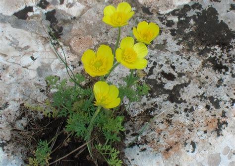 fiore giallo primaverile fiori gialli primaverili pp77 pineglen