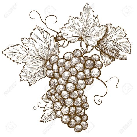 drawn grapes grape leaf pencil and in color drawn grapes drawn grape branch pencil and in color drawn grape branch