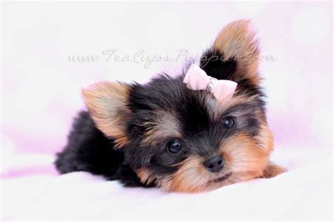 yorkie puppies houston yorkie puppies in houston puppies puppy