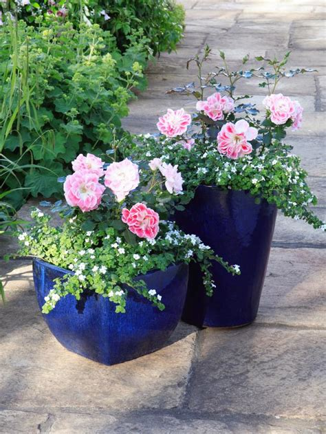 You Ve Garden Flower Bra Black how to grow patio roses in containers landscaping ideas