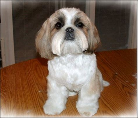 how to cut a shih tzu beard image gallery shaved shih poo