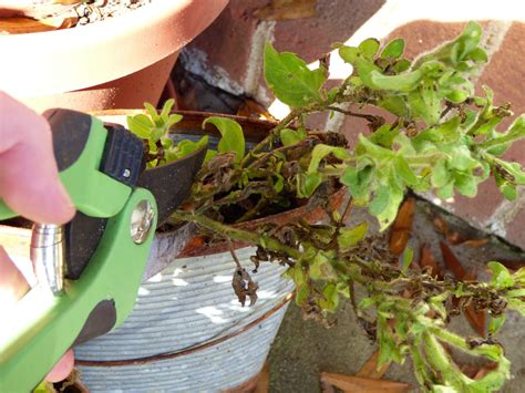 do petunias need pruning learn when and how to prune petunias