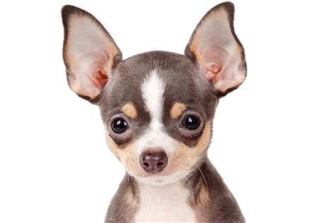 dogs with big 55 cutest chihuahua dogs for home golfian