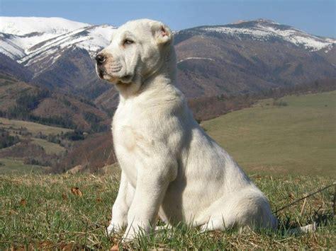 alabai puppies 89 best images about alabai central asian ovcharka on polar