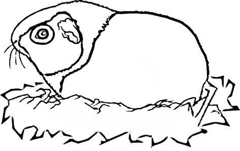 guinea pig coloring pages guinea pig coloring pages coloringpages1001