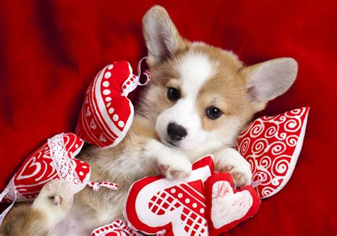 valentines puppy puppy what to get your for s day american kennel club