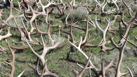 Elk Antler Shed by Elk Antlers On The Prairie A Shed Hunt To Benefit The
