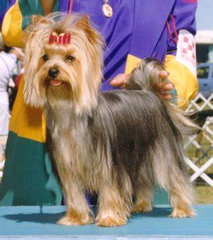goldenray yorkies the yorkies of hekan terriers