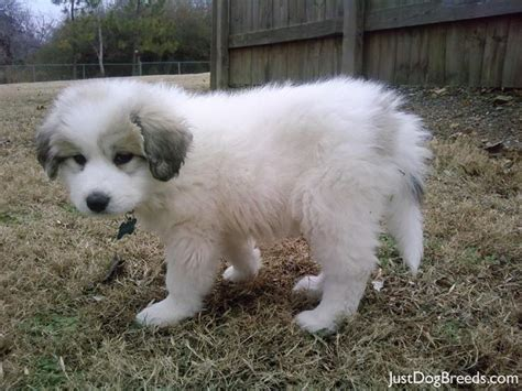 grand pyrenees puppies great pyrenees puppy doggies