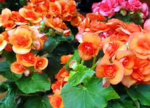 beautiful begonias warren s southern gardens kingwood tx