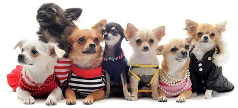 when do chihuahua puppies stop growing chihuahua dogs and puppies breeds journal breeds journal