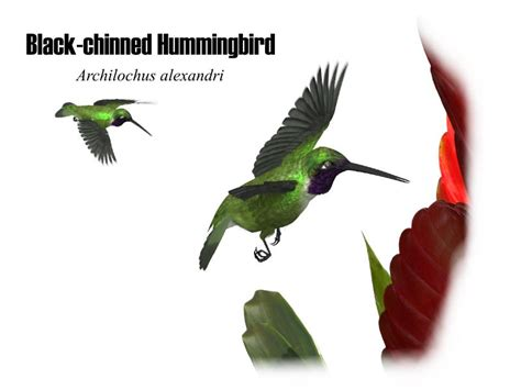 types of hummingbirds found in southern california black