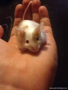 pet mice blog pet mice blog uk