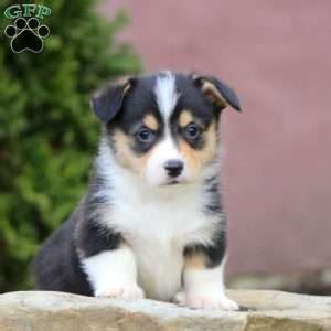 corgi puppies for sale 300 pembroke corgi puppies for sale greenfield puppies